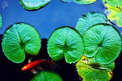 JARDINES DE MEXICO (fco_galan34) Tags: jardines mexico naturaleza natural morelos paisajismo ecosistemas flores colores plantas arboles peces acuatico