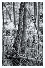 Deadwood (RD400e) Tags: canon eos 5d mk3 ef 85mm f12 gitzo bwpolariser trees tree water delamere forest bw outdoors