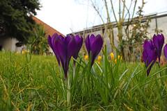 Crocus on a lawn (betadecay2000) Tags: krokus crocus krokusse rasen lawn flower fleur bloem blühen violett yellow green frühling frühjahr spring color colour plant pllants gras gräser κρόκοσ քրքմածաղիկ כַּרכּוֹם ดอกดิน クロッカス krookus çiğdem schärfentiefe pflanze blume hell muster organisches