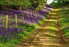 Aqualate Mere-8.jpg (markw66) Tags: woodland staffordshire naturereserve landscape sigma105mm 2017 aqualatemere canon 5dmkiii bluebells april sutton england unitedkingdom