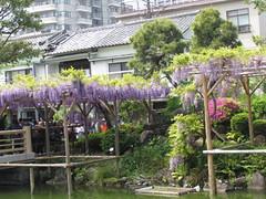 Wisteria Festival at Kameido Tenmangu Shrine (walking.biking.japan) Tags: tokyo kameido kotoku shrine flowers