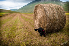 DSC_0630.jpg (nousmc) Tags: animali arak ccbyncnd30 castellucciodinorcia montisibillini natura nofacebook paesaggio