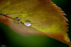 Raindrop 雨滴 (T.ye) Tags: plant rain raindrop contrast mono leaf plants