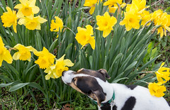 Dooley in the Daffodils (marylea) Tags: apr22 2017 dooley dog daffodils flowers yellow spring springtime parsonrussellterrier parsonrussell jackrussellterrier jackrussell sweet smelltheroses garden puppy