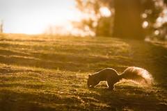 Burying treasure (Explored 2017/05/05) (Lee Chu) Tags: sel55210 sonynex6 squirrel sunrise orange goldenhour wildlife animal toronto ontario canada highpark