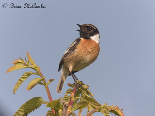 Male Common Stonechat.Digiscoped.