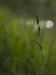 Promenade au bord de l'eau * (Titole) Tags: grass bokeh waterplant titole nicolefaton