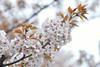 Cerasus serrulata 'Kosioyama' (Masaoki Hirai) Tags: trioplanf28100 prunus cerasus rosaceae cherryblossoms