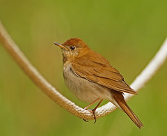 Veery Thrush (SteveJnerChicago) Tags: veerythrush veery thrush bird nature wildlife chicago illinois