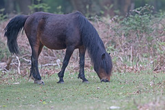 Wild New Forest pony (drbut) Tags: wildnewforestpony newforest horse pony nature wild canon500f4isusm