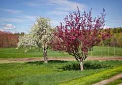 Apple Trees (madre11) Tags: spring appletrees morning blueskies trees newhampshire newenglandlandscape nature
