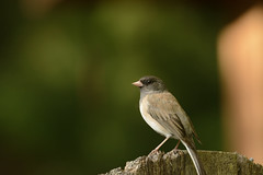 Junco on the gate (woodwindfarm) Tags: oregon junco bokeh hff fence friday
