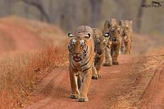 Tigress leading her cubs for an evening walk (Hardik Pala) Tags: tiger tigress cubs flickrbigcats bigc bigcat central india tadoba family ngc npc