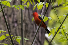 Forest Park: Scarlet Tanager (donna lynn) Tags: nys 2017 may migration birds birding nature wildlife outdoors nyc queens forestpark tanagers scarlettanager