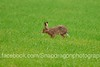 DSC_6915 (c9mpc) Tags: hare hares wildlife lincolnshire rasen rural green red illusive field running sprinting