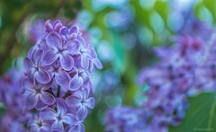 Laid out in lavender.... (Joe Hengel) Tags: laidoutinlavender lilacs lilac flowers flower bokeh leaves swedesboro newjersey nj spring springtime springflowers