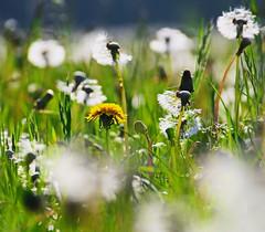 ...gelb (jueheu) Tags: pusteblume dendelion dandelion wiese field löwenzahn weis silber grün gelb white silver green yellow natur natura nature purenature frühling bokeh schärfenverlauf