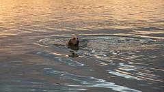 Golden Golden D7C_3602 (iloleo) Tags: dog swim nikon d750 bonitasprings florida gulfofmexico sherman goldenretriever