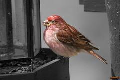 Roselin en Beauce, Canada (rouge) - 2956 (rivai56) Tags: oiseau roselinfamilieroupourpré roselin familier ou pourpré sonyphotographing