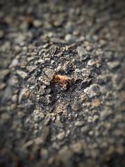 L'Ape, Maia (giuseppespanò) Tags: insetti ape primavera insect bug bugs macro bugslife nature maia animals creature