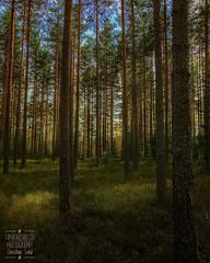 Pine forest : Riddarhyttan, Sweden (Tankartartid) Tags: landskap landscape ljusochskugga shadowsandlight europe sverige sweden natur nature grönt green skog forest pineforest tallskog tall pine instagram