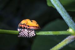 Babies R Us (roshangun) Tags: lady bug garden nikon el nikkor 50mm f28 ova eggs