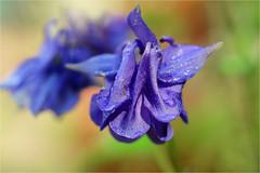 akekei (atsjebosma) Tags: akelei tuin bokeh colourful kleurrijk may mei 2017 blue bloem atsjebosma groningen thenetherlands nederland ngc npc