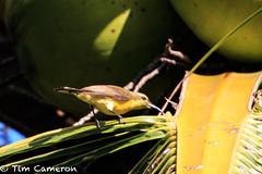IMG_9608.jpg (cameron_tim) Tags: pintuyan tamsi nectariniajugularis olivebackedsunbird