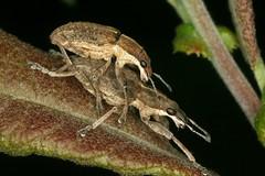 Sitona gressorius (chug14) Tags: animalia charançon arthropoda hexapoda insecta coleoptera curculionidae entiminae sitonini sitonesgiganteus curculiogressorius sitonagressorius