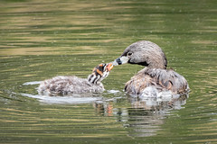 Pied-billed Grebe Mom & baby - Explore (alicecahill) Tags: california usa wild parent ©alicecahill sanluisobispocounty bird baby chick grebe two piedbilledgrebe animal atascaderolake