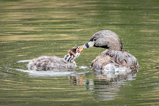 Pied-billed Grebe Mom & baby - Explore