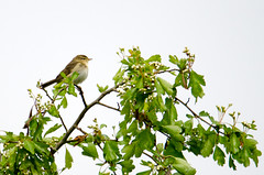 Willow warbler (jkyles32) Tags: brandonmarsh wkwtbrandonmarsh warwickshirewildlifetrust willowwarbler