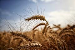 Goodness .. (Hazem Hafez) Tags: wheat fields golden gold yellow goodness closeup crop produce farm sky bokeh