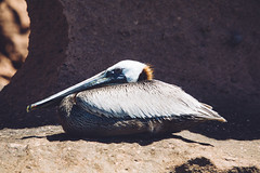Brown Pelican - Isla Espiritu Santo (dataichi) Tags: pelican rest resting animal animals bird birdwatching birding wild wildlife espiritu santo baja california sur mexico travel tourism destination outdoors nature
