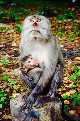 Mom and kid monkeys #family #monkey #monkeys #indonesia !#banyuwangi #animal #animals (Mario Kent) Tags: family monkey monkeys indonesia banyuwangi animal animals