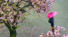 Man with a pink flower umbrella (peggyhr) Tags: peggyhr rainyday man pinkumbrella cherryblossoms corner vancouver bc canada dsc0048d frameit~level01~ heartawards infinitexposurel1 thelooklevel1redaddphotos niceasitgets~level1 level1peaceawards friends thelooklevel2yellow infinitexposurel2 umbrellatime thelooklevel4purple thelooklevel5green thelooklevel6blueaddphotos infinitexposurel3 thegalaxy thegalaxystars thegalaxyhalloffame thegalaxystarshall0ffame