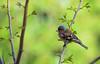 fringuello (William Av.) Tags: fringuello uccelli alberi abruzzo italia colori natura volatili libertà finch bird wildlife animal tree wild colors forest spring primavera