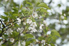 Prunus lannesiana var. speciosa (Masaoki Hirai) Tags: trioplanf28100 prunus cerasus rosaceae cherryblossoms