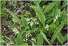 Maiglöckchen (Convallaria majalis) (Maggi_94) Tags: maiglöckchen convallariamajalis spargelgewächse spargelgewächs asparagaceae giftpflanze