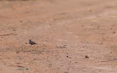 Ashy-crowned sparrow-lark (siddharthx) Tags: hyderabad telangana india in nature birdsofindia canon7dmkii hyderabadbirds birdsoftelangana ashycrownedsparrowlark ef100400mmf4556lisiiusm habitat hcu runner fastbird sunrise earlymorninglight