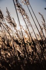 Wheat fields (@Merssan) Tags: vete wheatfields wheat fields sweden gothenburg göteborg spring sun outdoor forest