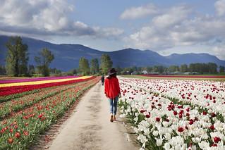 Tulips Festival in Chilliwack