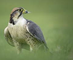 A finesse of green (Coisroux) Tags: lanier falcon birdsofprey raptors beak feathers falconry icarus d5500 finesse softness gentle eyoffalcon grasses haze nikond holdenbypalace eye