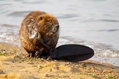 EEEK! (Piedmont Fossil) Tags: sandypoint state park maryland chesapeake bay beaver mammal wildlife