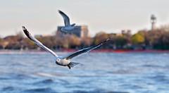 City Gulls (imageClear) Tags: bif fly wings bird gull seagull city sheboygan wisconsin nikon aperture d500 105mm imageclear flickr photostream