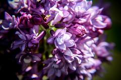 Spring is Here - first Lilacs (Yuri Dedulin) Tags: 2017 flowers newjersey passaiccounty ringwoodmanor ringwoodstatepark weekends yuridedulin nature bokehoftheday