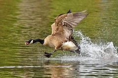 Incoming! (Maggggie) Tags: canadagoose bird splash wings flight water lake lakepeachtree neck head tongue flap spray takeaim onthego