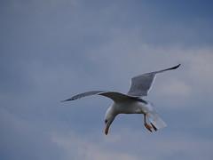 Landing (RoBeRtO!!!) Tags: rdpic blue sky white clouds seagull bird flight wing cielo azzurro nuvola bianca gabbiano uccello ala sonyhx400v