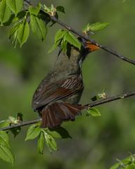 NorthernCardinal_SAF0888 (sara97) Tags: cardinaliscardinalis bird cardinal copyright©2017saraannefinke missouri nature northerncardinal outdoors photobysaraannefinke saintlouis songbird
