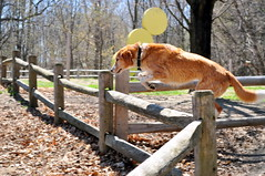 4/12 Months for Skye-Caught in act-ion... (ginam6p) Tags: skye houndcollie toronto nikon 12monthsfordogs2017 jump fence